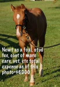 Newt foal cost