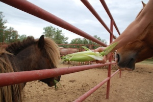 If the horses won't eat the corn husks...try a mini!