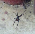 Black widow waiting in the barn