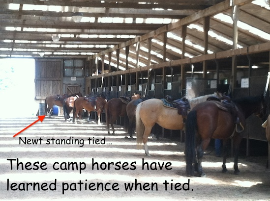 camp horses have learned to stand quietly tied