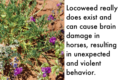 Locoweed can cause unexpected and violent behavior in horses